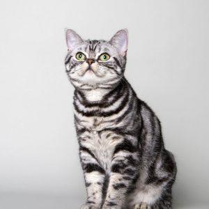 Asajj - ZORRKO.pl - Kot amerykański krótkowłosy Hodowla