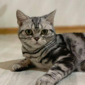 Ophelia - ZORRKO.pl - Kot amerykański krótkowłosy Hodowla