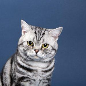 Louis - ZORRKO.pl - Kot amerykański krótkowłosy Hodowla